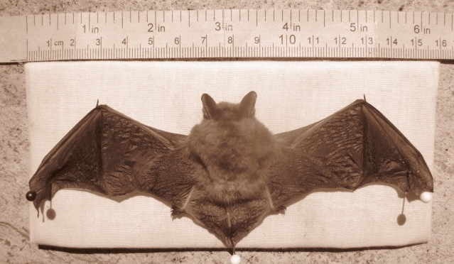 Bat Brown Myotis crop