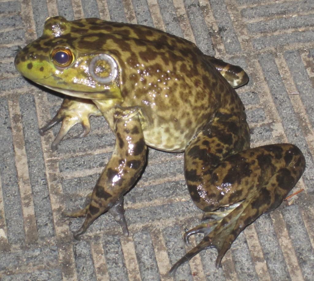 Bull Frog Male crop