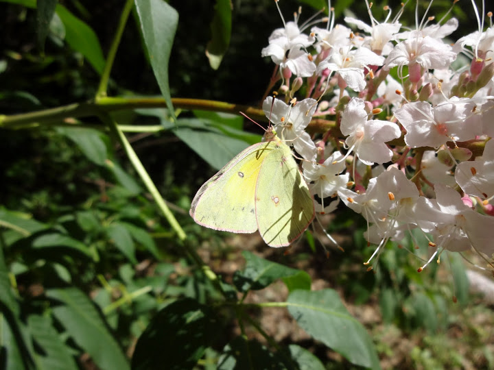 Colias-Alexandra-Butterfly-on-California-Buckeye