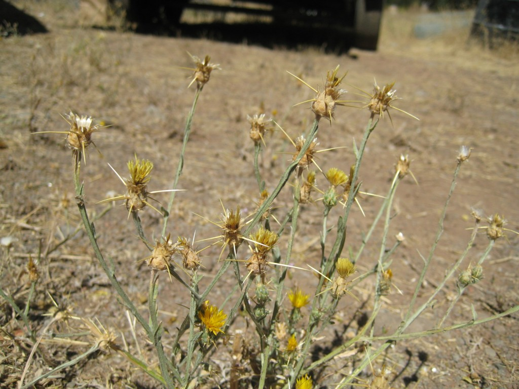 Yellow Star Thistle (Centaurea solstitialis)