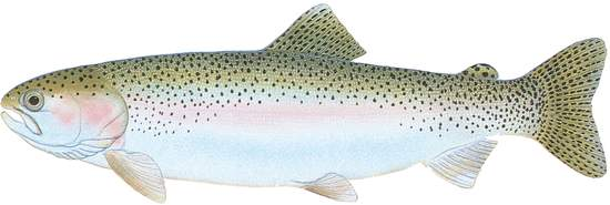 Rainbow Trout #2