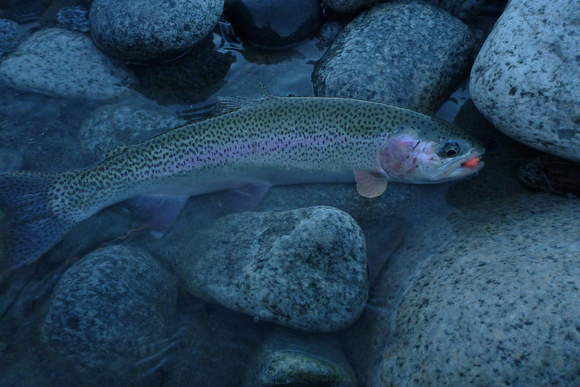 Rainbow Trout Hooked